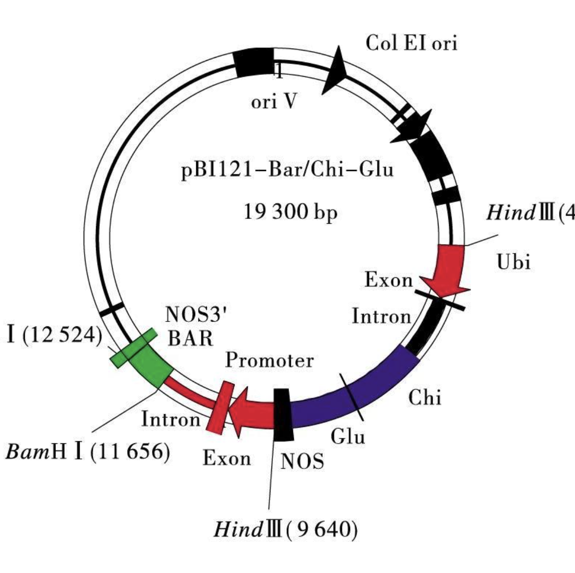 农杆菌介导的小对叶遗传转化方法